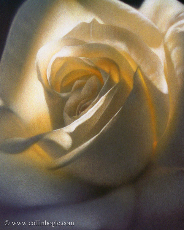 White rose painting art print by Collin Bogle.