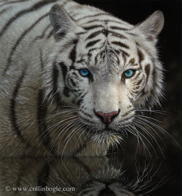 White tiger in water painting art print by Collin Bogle.