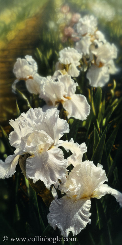 White iris garden painting art print by Collin Bogle.