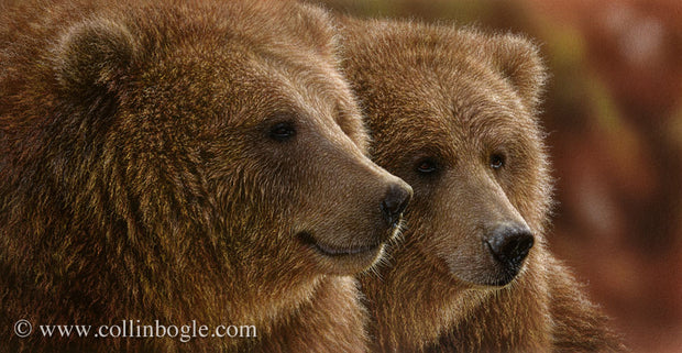 Brown bears painting art print by Collin Bogle.