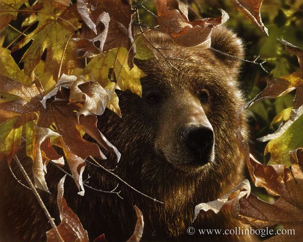 Brown bear in autumn leaves painting art print by Collin Bogle.
