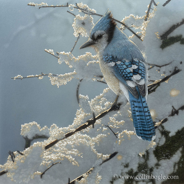 Blue jay perched on snow covered fence painting art print by Collin Bogle.