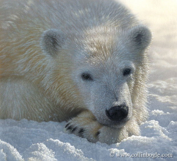 Polar bear cub resting on paw painting art print by Collin Bogle.