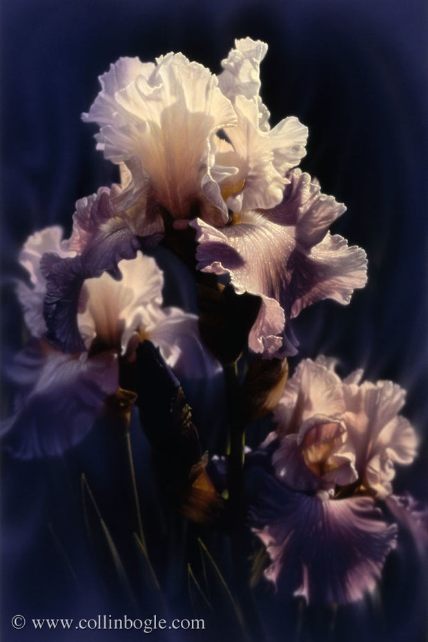 Iris painting art print by Collin Bogle.