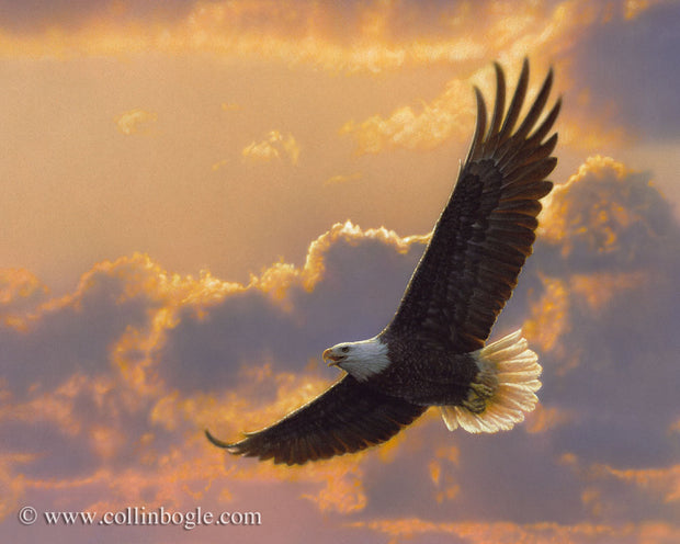 Bald eagle flying with sunset painting art print by Collin Bogle.