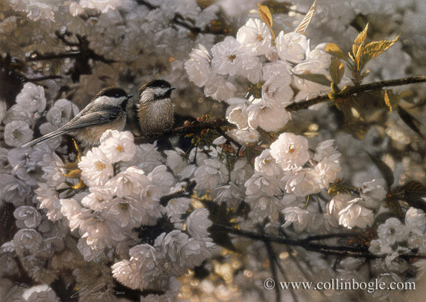 Black-capped chickadees in white spring blossoms painting art print.