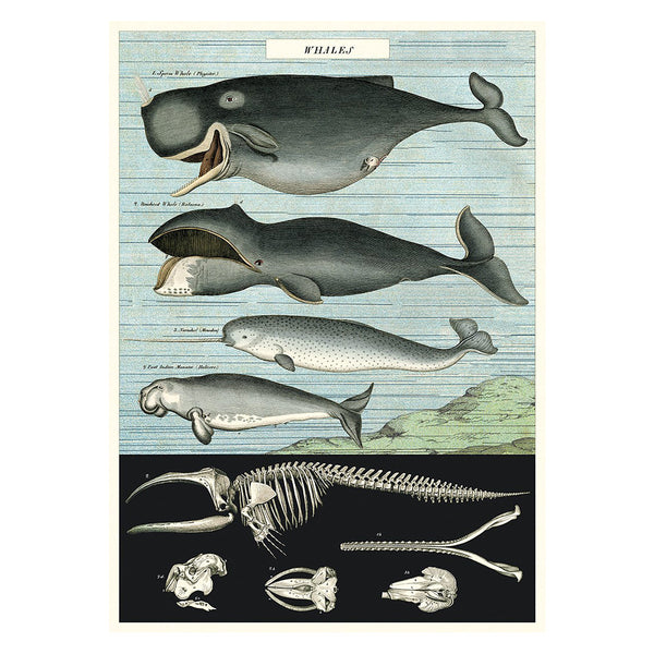 Cavallini Vintage Poster Whale Chart