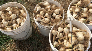3 tips for getting the best garlic harvest ever!