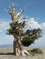 Bristlecone Pine Seeds - The STEMcell Science Shop