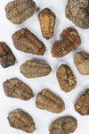 Trilobite Fossil - THE STEMCELL SCIENCE SHOP