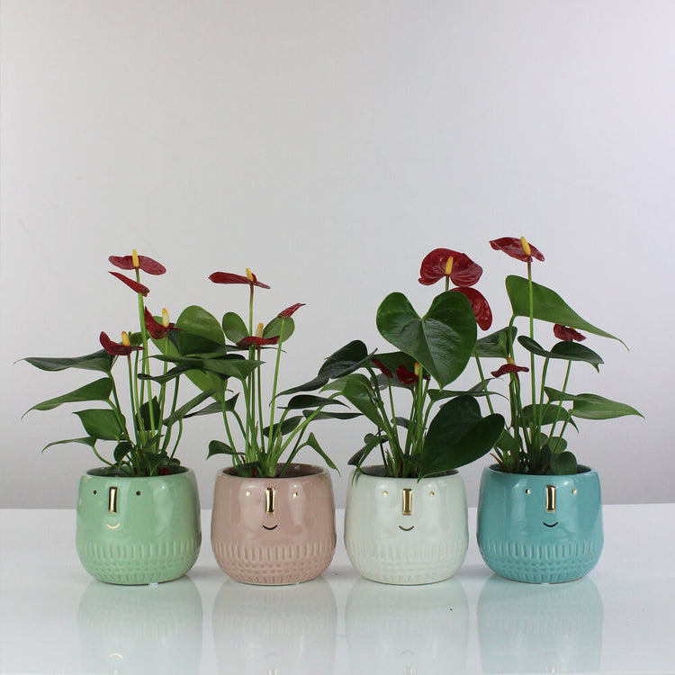 'Royal Red Champion' in Ceramic Pot from Root