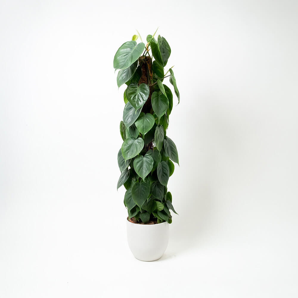 Heart Leafed Philodendron
