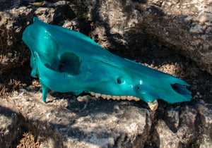 Large Turquoise with Preserved Natural Teeth Cruelty Free Hog Skull