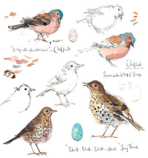 Madeleine Floyd-Chaffinch and Song Thrush Sketchbook