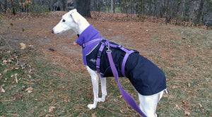 Great White North Winter Jacket for Greyhounds by Chilly Dogs - Imperial Purple