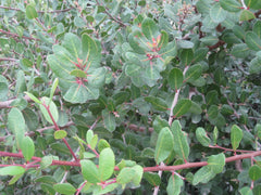 Photo of Rhus integrifolia, also known as Lemonade Berry