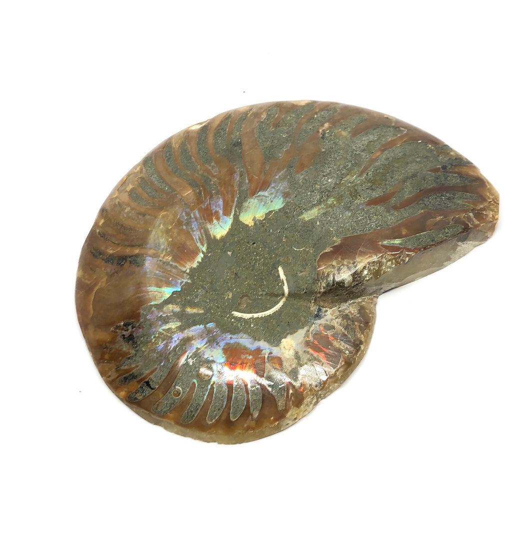 Ammonite Opalized Fossil (Morocco) 92g FREE SHIPPING