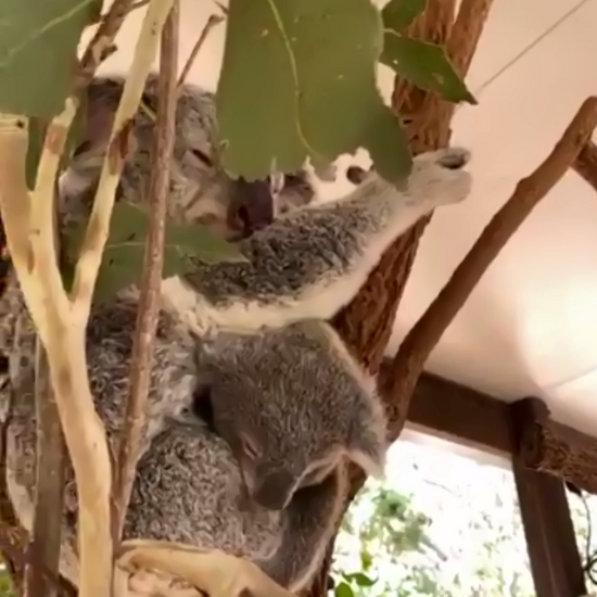 Meet Koalas and Kangaroos