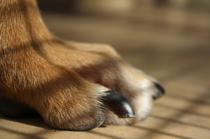 How to Trim a Dog's Toenails