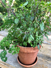Basil Growing in a Terra Cotta Pot, Ready for Basil Toast