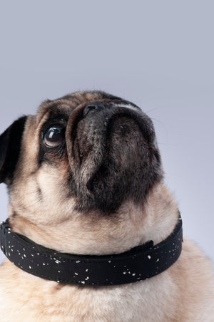 Pug wearing black rubber collar