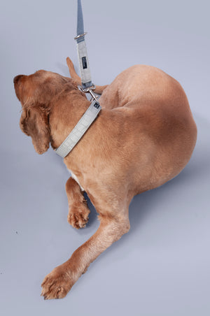 golden retriever wearing a grey Hyde collar and matching lead