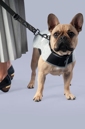 French bulldog in a grey dog jacket and wearing a black rubber collar and lead