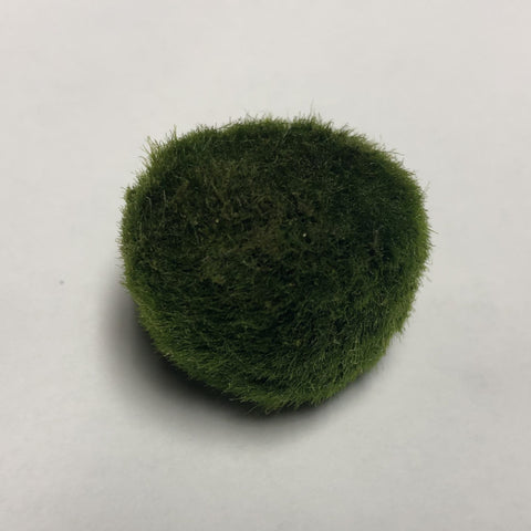 "Marimo Moss Ball - Small (1"")"