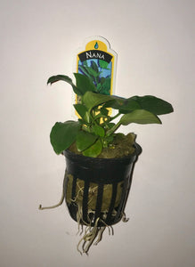 Anubias Nana (Potted)
