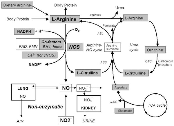 How Nitric Oxide Works in the Body