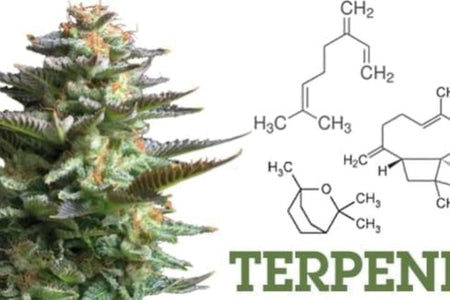 What are terpenes? the entourage effect