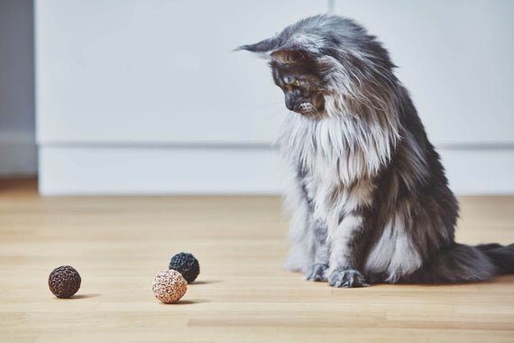 FURST - Beautiful Maine Coon cat playing with a high-end leather and cork ball