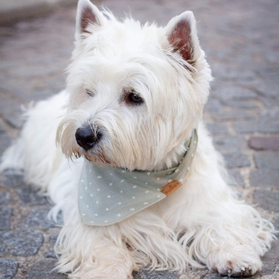 FURST - Westie Wearing the Dog Getaway Bandana