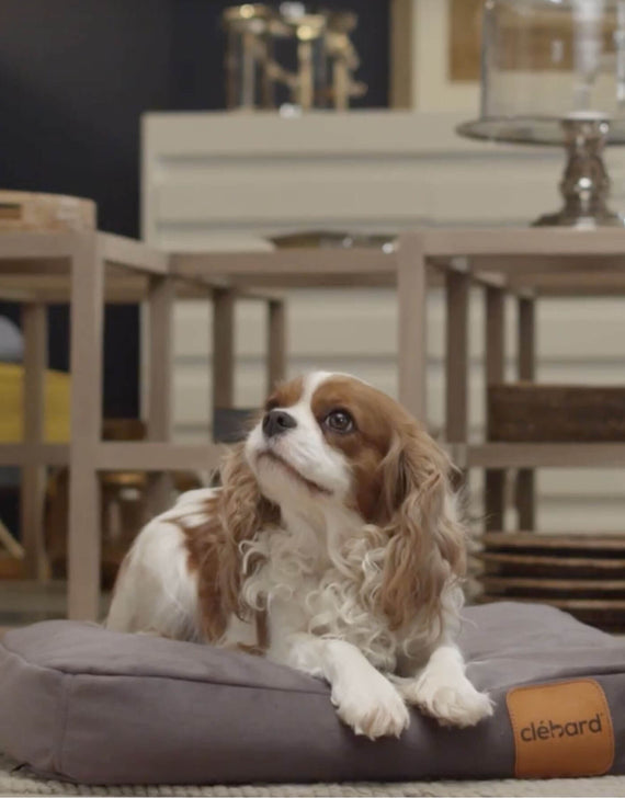 FURST - Adorable King Charles Cavalier resting on his gray taupe cork cushion