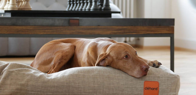 FURST - Beautiful Weimaraner on its champagne cork cushion