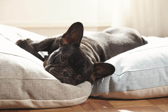 FURST - French Bulldog resting on its high quality gray and blue dog cushion