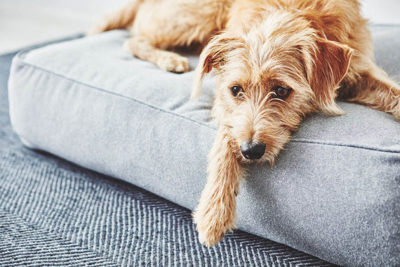 FURST - Beautiful dog on his lounge cushion Stella in slate color
