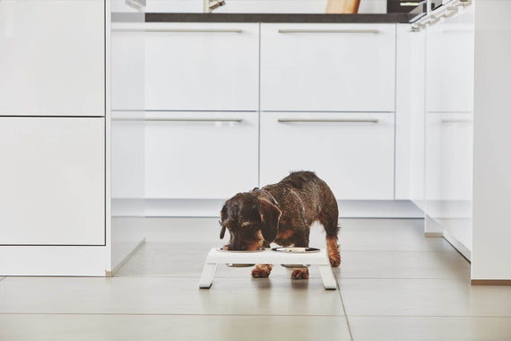 FURST - Dachshund eating in his set of raised bowls