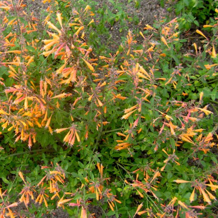 Agastache Aurantiaca, 'Navajo Sunset' Giant Orange Hyssop