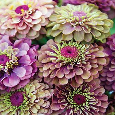 Zinnia el. Frøkenhat, Queen Red Lime