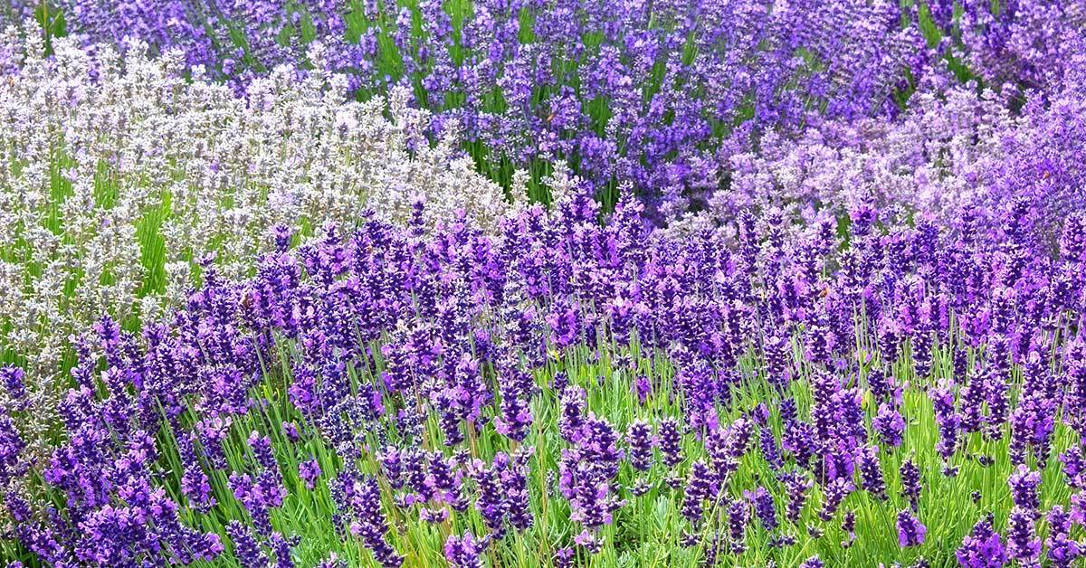 The Lavender of Liberation