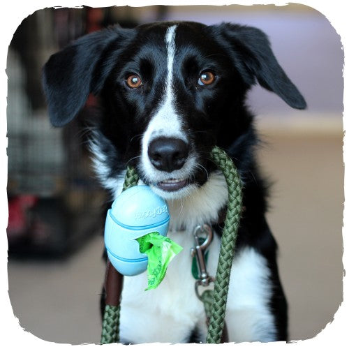 A happy dog holding a pocket poop bag dispenser made from natural plant fibres by Becopets that is attached to a lead