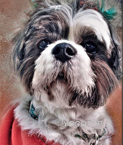 Shih Tzu dog - Diamond Art Painting
