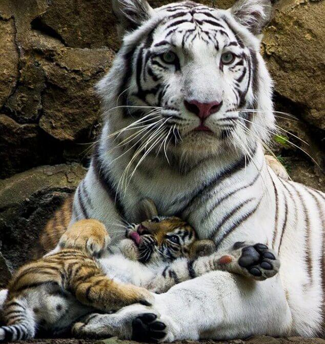 White Tiger & Cub Painting Kit
