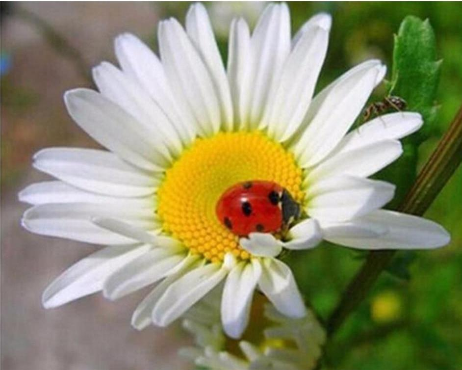 Beautiful Ladybug on Flower Painting with Diamonds
