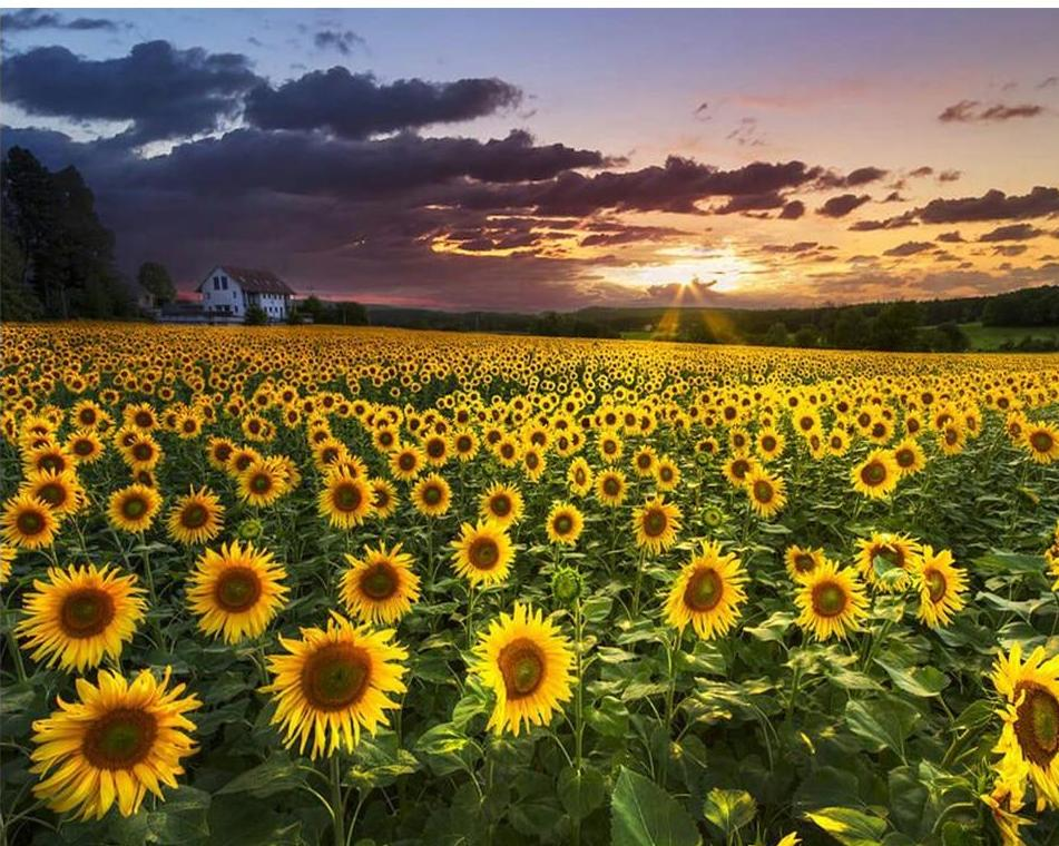 Lovely Sunflower Field