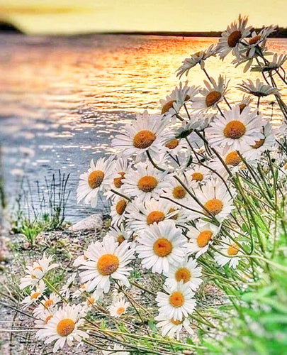 Lovely Sunset on a Sea and White Sunflowers