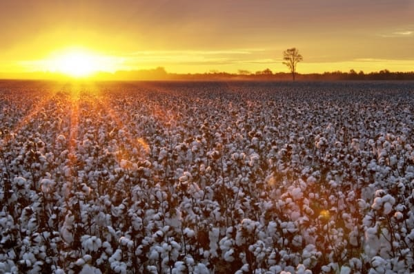 one_eyeland_mature_cotton_field_at_sunrise_by_curt_dennison_38492-1