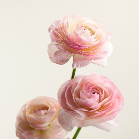 Pink Ranunculus from Green Fresh Florals + Plants