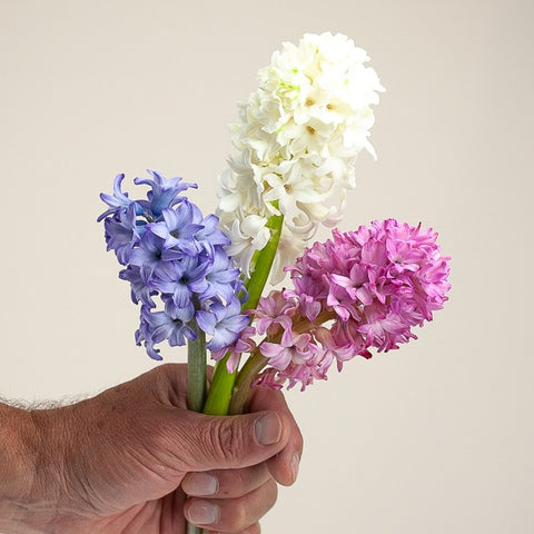 Blue, White and Pink Hyacinth Blooms from Green Fresh Florals + Plants